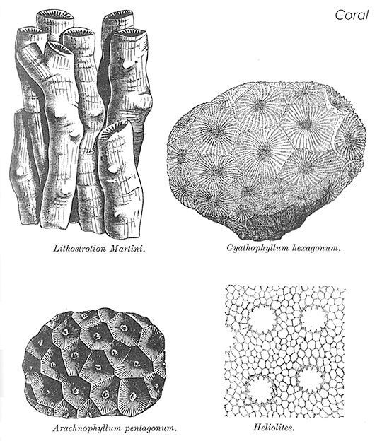 5 Coral geom barensfeld